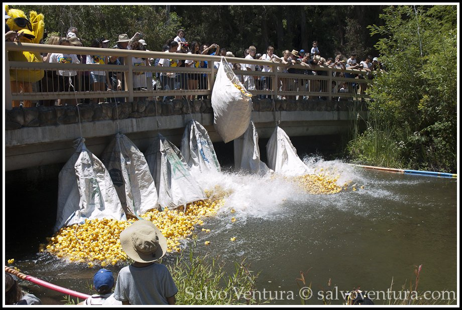 Duck race started!