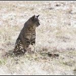 Yosemite National Park - Bobcat