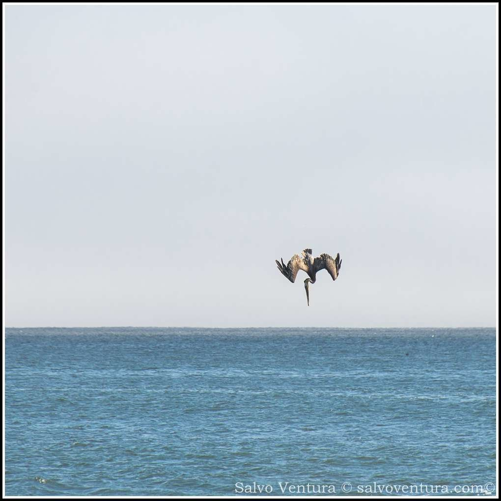 Pelican plunging into the water