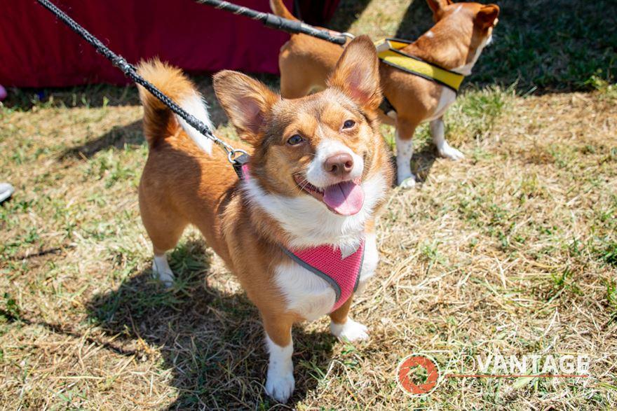 Happy Dog at the Berryessa Art and Wine Festival - Advantage-Photography.com