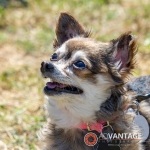 Another Happy Dog at the Berryessa Art and Wine Festival - Advantage-Photography.com