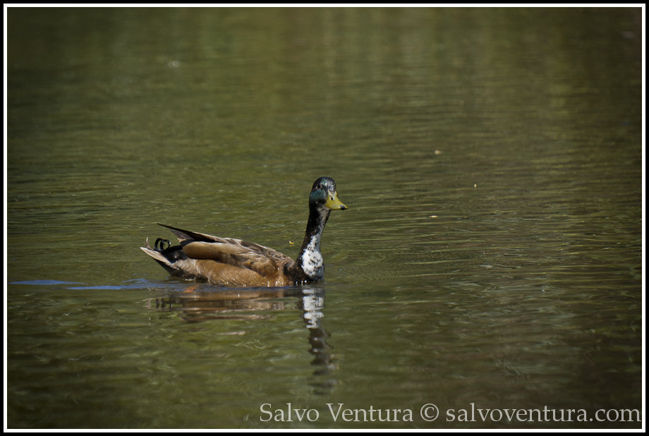 Real duck at the race :-)