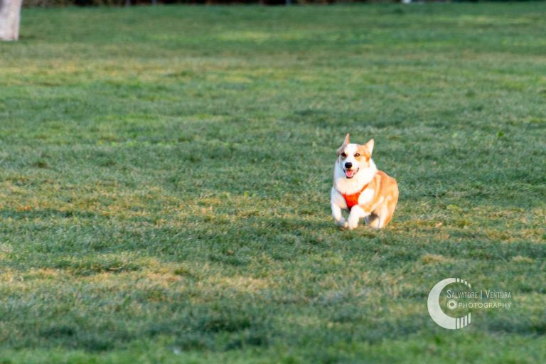 Corgi running to catch the ball